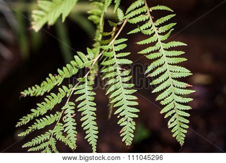Close-up Fern Leaf In Garden