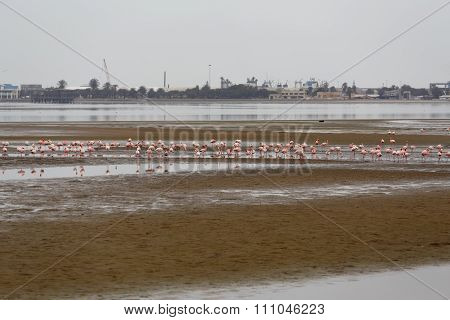Rosy Flamingo Colony In Walvis Bay