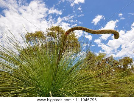 Yakka Trees: Unique Spiny Details