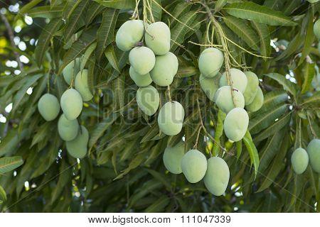 Green Mangos Hanging On Tree