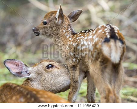 Fawn and mom deer licking, focus on baby eye