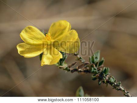 Arabian Rock-rose