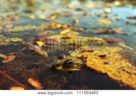 Frog With A Camouflage Color In The Lake, Looks