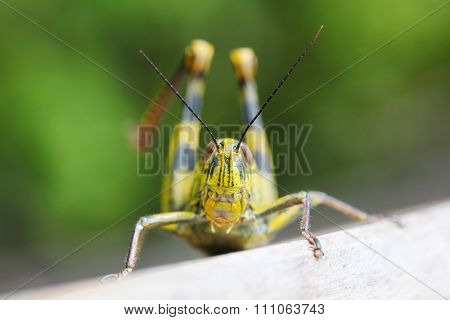 Close up of colorful big locust outdoors