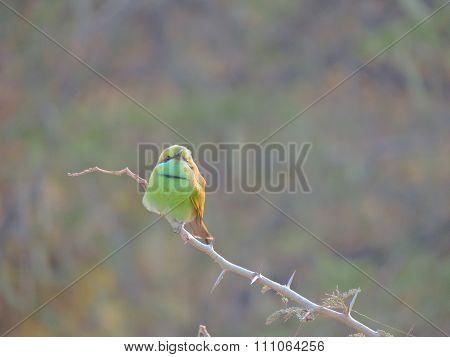 Flycatcher bird
