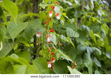 Growing The Beans (phaseolus Vulgaris)