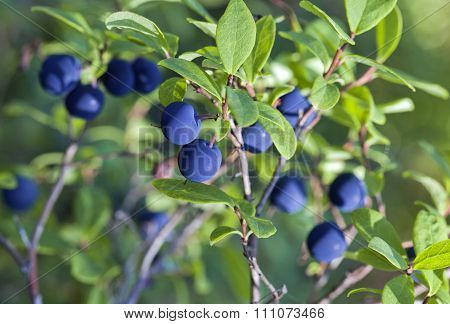Blueberry bush, close-up