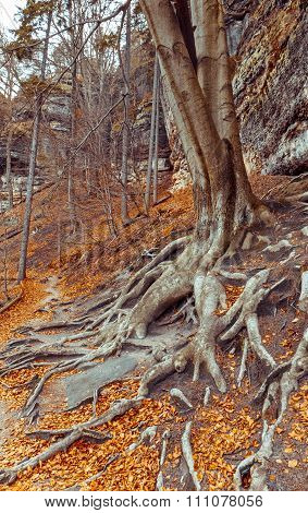 Tree With Big Roots