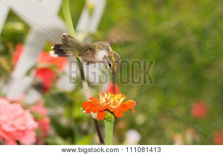 Ruby-throated Hummingbird hovering over an orange flower looking for nectar, in a sunny summer garden
