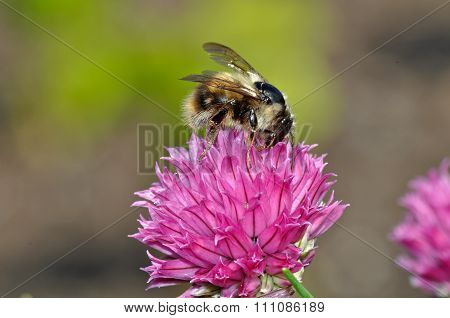 Honey Bee On Pink Flower
