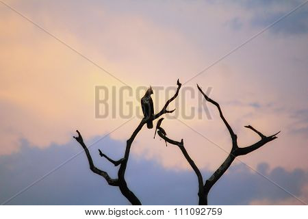 Changeable Hawk on a Tree in Sunset