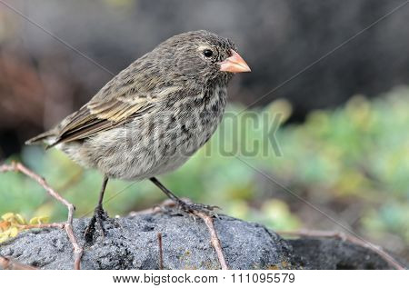 Brambling Darwin Bird From Galapagos.