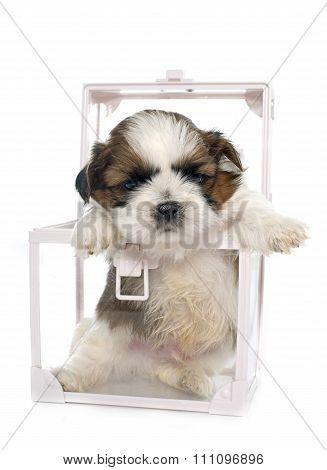 Puppy Shitzu In Box