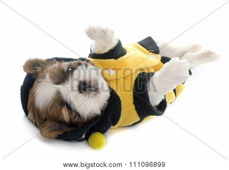 Dressed Puppy Shitzu