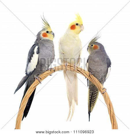 Three Cockatiel Perching