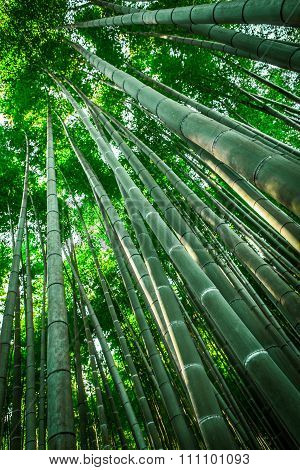 Green bamboo forest in Kyoto, Japan. Nature and environment.