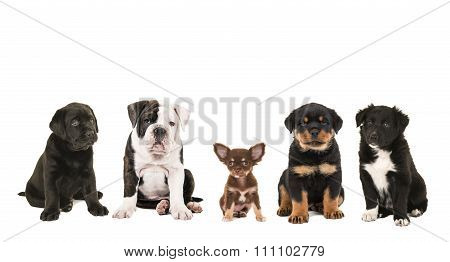 Five different breed of puppy dogs sitting in a row facing the camera isolated on a white background, one, labrador, english bulldog, chihuahua, rottweiler and border collie