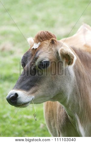 The Jersey Cow..