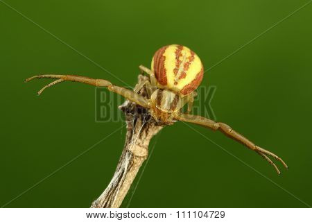 Crab Spider On The Green Backround