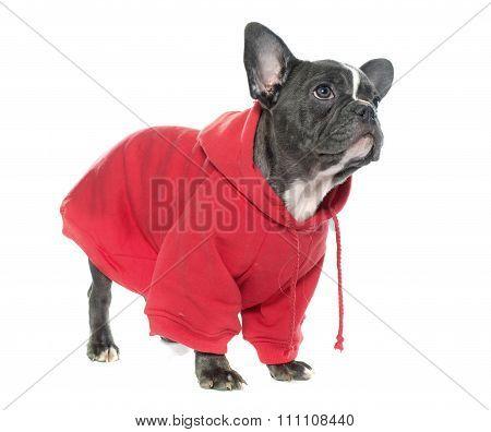 Dressed Puppy French Bulldog