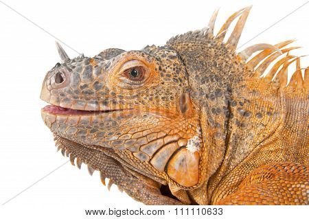 Portrait Of Iguana Close-up..