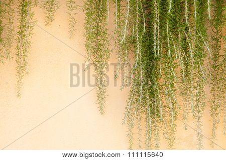 Weeping Rosemary