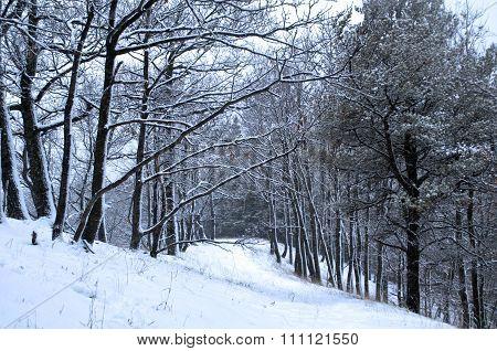 Snowed Forest