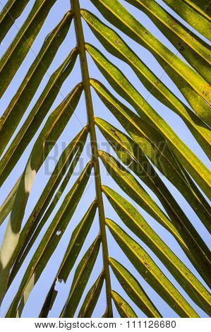 green coconut leaves background
