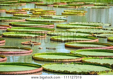 Victoria waterlily leaves on fish pond