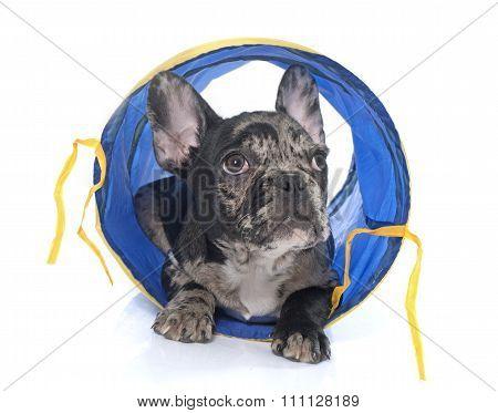 Puppy French Bulldog In Tunnel