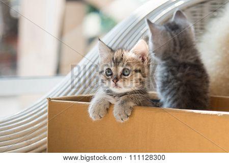 Cute Tabby Persian Kitten
