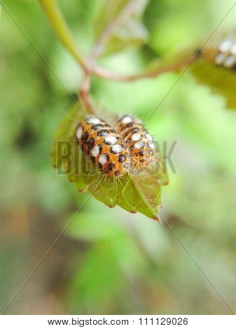 Small larva