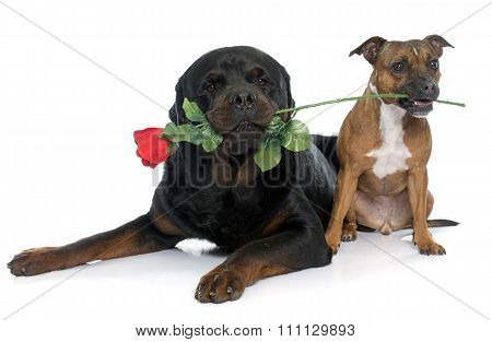 Stafforshire Bull Terrier And Rottweiler