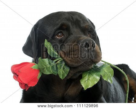 Rottweiler And Flower