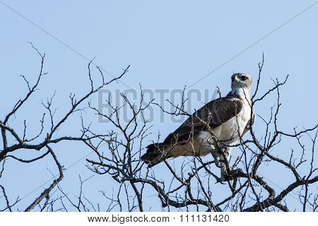 Black-shouldered Kite In Kruger National Park
