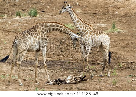 Giraffes standing nearby a corpse In Kruger National Park
