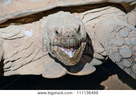 Geochelone Sulcata  In The Zoological Center Of Tel Aviv-ramat Gan, Israel