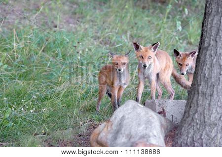 Mother With Two Small Fox Cubs For A Walk