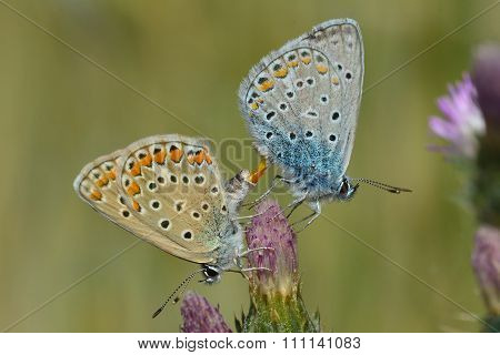 Common blue butterflies (Polyommatus icarus) mating with clear view of genitalia