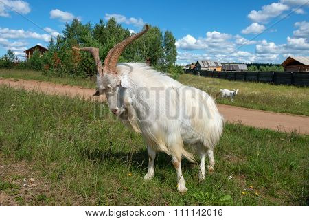 Beautiful Goat With Big Horns Attacks