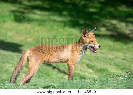 Young Fox Hunts  On A Mown Grass