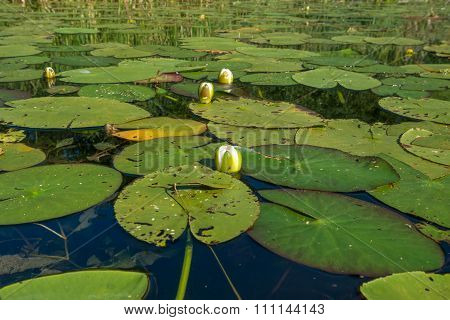 Water Lily Bloom Soon