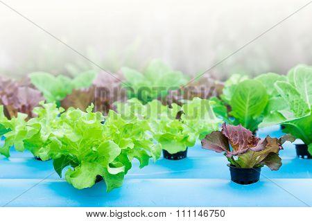 Lettuce, Batavia Red Green And Green Oak.