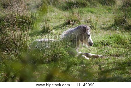 Wild Gower pony