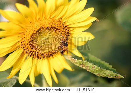 Bee Sucking Pollen From A Sunflower On Sunny Day