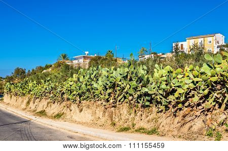 Opuntia Cactus At A Road In Paphos - Cyprus