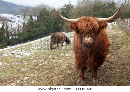 Highland Cow Looking At Camera