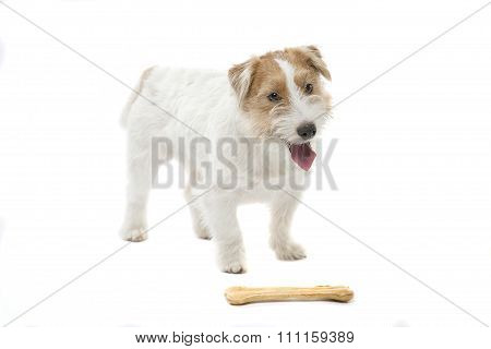Young dog Jack Russell terrier with bone on the white background