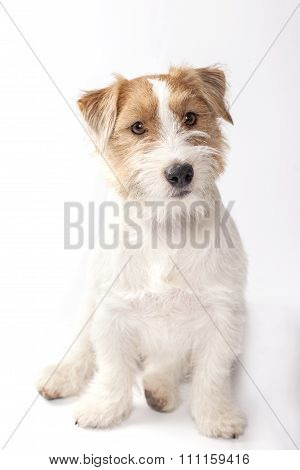 Young dog Jack Russell terrier on the white background