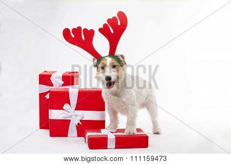 Young dog Jack Russell terrier with Christmas gifts on the white background